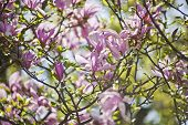 image of magnolia  - many Pink Magnolia Flower Buds in Springtime - JPG