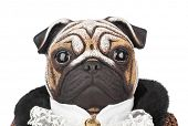 stock photo of toy dogs  - Toy pug dog in butler costume isolated on white background - JPG