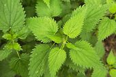 picture of nettle  - Nettle plant closeup in the forest - JPG