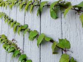 picture of ivy  - Boston Ivy on a white wooden wall - JPG