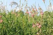 stock photo of alfalfa  - Pink alfalfa flowers bloom on the meadow - JPG