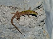 image of lizards  - A colorful lizard - JPG