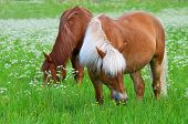 picture of horses eating  - Brown horses eats grass in meadow summertime - JPG