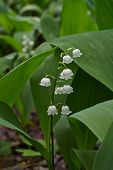 stock photo of day-lilies  - In the forest blossomed fragrant white lilies - JPG