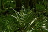 foto of fern  - Young sprouts of fern blossom in a forest glade - JPG