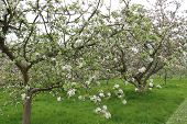 image of apple orchard  - An Apple Orchard with the Trees Full of Blossoms - JPG