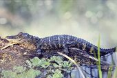 picture of alligator baby  - Young Alligator Resting On A Log - JPG