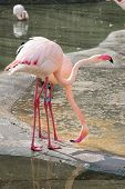 picture of pink flamingos  - Couple of Pink flamingo near the water - JPG
