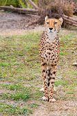 foto of cheetah  - Beautiful Cheetah Gepard - JPG