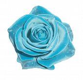 stock photo of blue rose  - Vector illustration - JPG