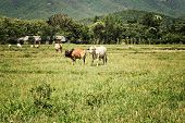 stock photo of pastures  - Two cow on pasture land vintage style - JPG