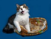 stock photo of blue tabby  - White and fluffy tabby cat lies in motley couch on blue background - JPG