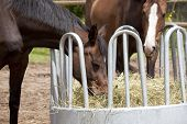 picture of horses eating  - brown Holsteiner horses standing on a hay rack and eat hay - JPG