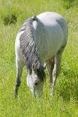 stock photo of horses eating  - White horse eating grass in the meadow full of flowers - JPG