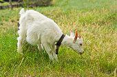 foto of eat grass  - The white goat eating grass on nature - JPG