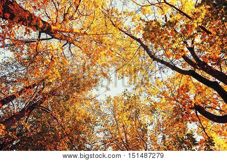 poster of Autumn trees- orange autumn trees tops against blue sky in vintage tones. Autumn natural view of autumn trees. Autumn trees against autumn sky in sunny autumn weather. Autumn view of autumn tree tops