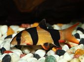 stock photo of loach  - Colorful Clown Loach Fish  - JPG