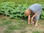 Old Woman Working In A Summer Garden. Gardening, Weeding Of Weeds, Vegetables Growing poster