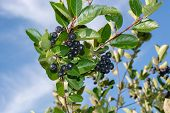 Branch Filled With Aronia Berries. poster