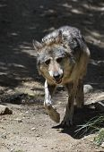 Timber Wolf With A Curious Look On His Face. poster
