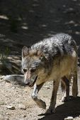 Gorgeous Gray Wolf Walking In The Warm Sunshine. poster