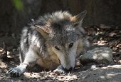 Resting Plains Wolf In A Pile Of Leaves In Sunshine. poster