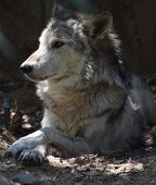 Relaxing Timber Wolf Laying In A Pile Of Leaves. poster