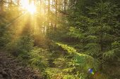 Sunlight In Green Forest At Sunrise. Landscape Of Summer Forest With Warm Sunbeams Through Trees. Na poster