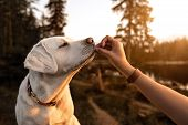 Young Beautiful Labrador Retriever Puppy Is Eating Some Dog Food Out Of Humans Hand Outside During G poster