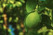 Green Lemon On A Branch In The Garden Fresh Green Lemon Hanging On Branches With Leaves On A Tree. O poster