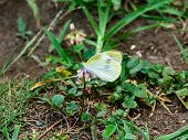 A Small White Cabbage Butterfly Feeds On Small Flowers In A Small Roadside Park In Central Kanagawa  poster