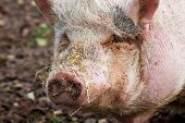 stock photo of pot bellied pig  - Portrait of a pot - JPG