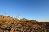 stock photo of ocotillo  - Ocotillo cactus in a desert setting under a clear blue sky at dusk - JPG