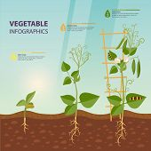 Plant Growth Process Infographic. Earth Or Soil With Roots And Leaves, Stem Of Vegetable Or Fruit Fl poster