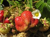 The Berry Of Ripe Strawberry Lies On A Bed Together With Other Not Yet Ripe Fruit. Still Continues F poster