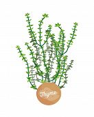 Thyme Herb Logotype With Round Label, Potted Thymes Plant Emblem, Herbs Leaves, Title On Container,  poster