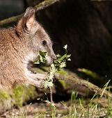 picture of tammar wallaby  - A parma wallaby eating in a dutch zoo - JPG