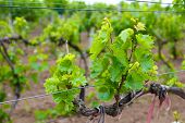 stock photo of moscato  - Young vineyard - JPG
