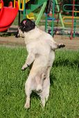 picture of minion  - Dog Pug on green grass in a park - JPG
