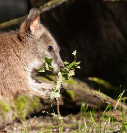 image of tammar wallaby  - A parma wallaby eating in a dutch zoo - JPG