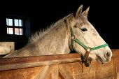 picture of lipizzaner  - young lipizzan horse portrait - JPG