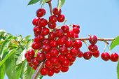 stock photo of bing  - Bing Cherries ready to be picked at Brozio Orchards in Winston Oregon just south of Roseburg - JPG