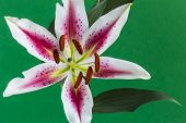 image of stargazer-lilies  - A stargazer lily flower with a green background - JPG