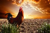 stock photo of plowed field  - red rooster is on the plowed field - JPG