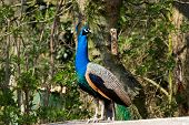 picture of indian peafowl  - Blue indian peafowl against a green beckground - JPG