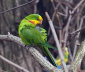 stock photo of parakeet  - The Superb Parrot  - JPG