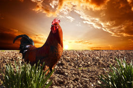 stock photo of roosters  - red rooster is on the plowed field - JPG
