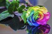image of rare flowers  - Multicolor Rainbow Rose on Glass Table Reflection - JPG