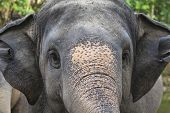 Closeup Of Elephant Head