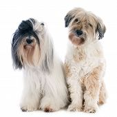 stock photo of tibetan  - Tibetan terriers in front of white background - JPG
